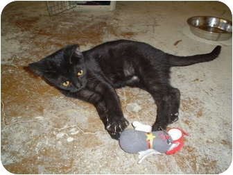 Domestic Shorthair Kitten for adoption in Scottsdale, Arizona - Venus