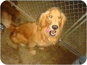 Golden Retriever Mix Dog for adoption in Marlton, New Jersey - Oliver