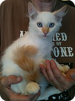 Domestic Mediumhair Kitten for adoption in San Ramon, California - Casper
