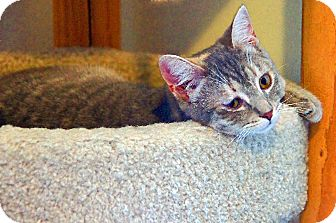 American Shorthair Cat for adoption in Victor, New York - Heidi
