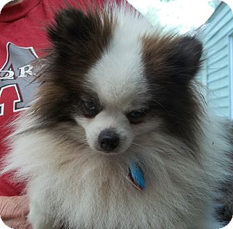 Pomeranian Dog for adoption in conroe, Texas - Apollo