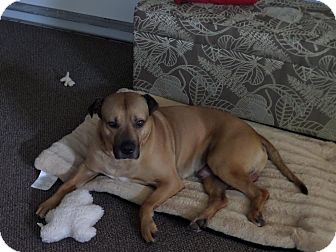 Shar Pei/Black Mouth Cur Mix Dog for adoption in Mira Loma, California - Hunter