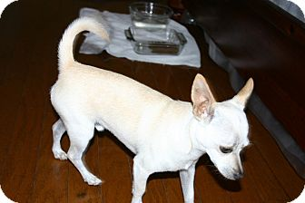 Chihuahua Mix Dog for adoption in Corona, California - Tippie, locked in cage rescued