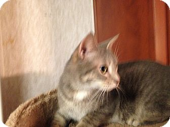 Domestic Shorthair Cat for adoption in Pace, Florida - Tiny