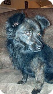 Schipperke/Pomeranian Mix Dog for adoption in Chilliwack, British Columbia - Shadow