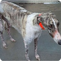 Adopt A Pet :: Hush - N. BABYLON, NY