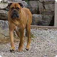 Adopt A Pet :: Dizel - La Pêche, QC