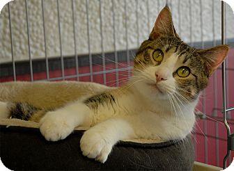 Calico Cat for adoption in Winchendon, Massachusetts - Kiara