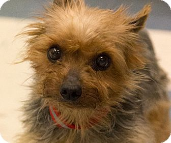 Yorkie, Yorkshire Terrier/Chihuahua Mix Dog for adoption in Martinsville, Indiana - Remmy