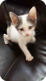 Domestic Shorthair Kitten for adoption in Tucson, Arizona - Tag