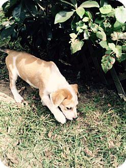 Golden Retriever/Labrador Retriever Mix Puppy for adoption in MILWAUKEE, Wisconsin - HUDSON