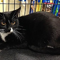 Domestic Shorthair Cat for adoption in Los Angeles, California - Beatrice