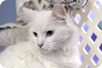 Domestic Longhair Cat for adoption in Chicago, Illinois - Inuit