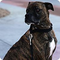 Adopt A Pet :: Bleeker - Gilbert, AZ