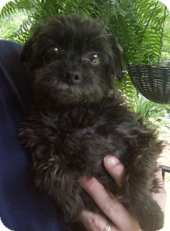 Poodle (Toy or Tea Cup) Mix Dog for adoption in Dothan, Alabama - Hansel