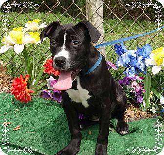 Boxer Mix Puppy for adoption in Marietta, Georgia - BONNIE