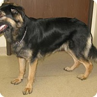 Adopt A Pet :: Shotzie - Gary, IN