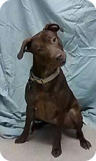Labrador Retriever Mix Dog for adoption in Springfield, Vermont - Katie