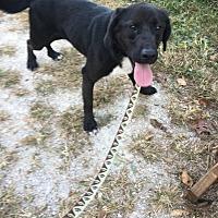 Labrador Retriever/Beagle Mix Dog for adoption in Elsberry, Missouri - Astro