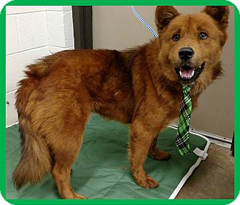 Chow Chow Mix Dog for adoption in Lexington, North Carolina - DASHER