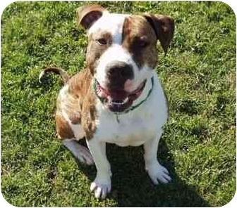 American Staffordshire Terrier Mix Dog for adoption in Berkeley, California - Skip