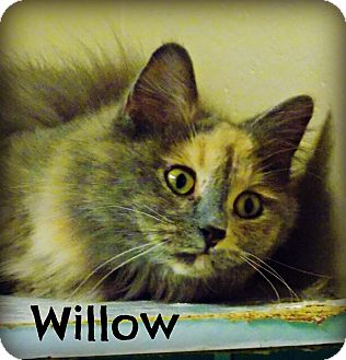 Domestic Longhair Cat for adoption in Defiance, Ohio - Willow