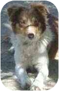 Border Collie Dog for adoption in Phelan, California - Robyn