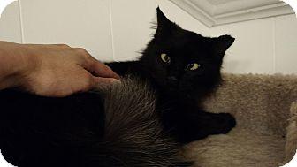 Domestic Mediumhair Cat for adoption in Wakinsville, Georgia - Pearl