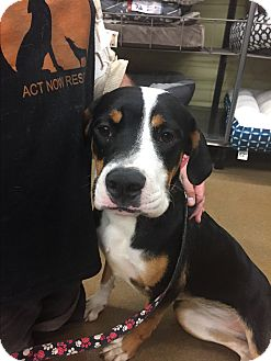 Boxer/Hound (Unknown Type) Mix Dog for adoption in ST LOUIS, Missouri - Patsy
