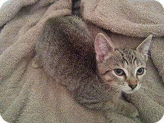 Domestic Shorthair Kitten for adoption in Lindsay, Ontario - Captain
