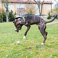 Pit Bull Terrier Dog for adoption in Richmond, Virginia - Quen with Pixie's Pen Pals