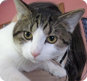 Domestic Shorthair Cat for adoption in Reeds Spring, Missouri - Milton