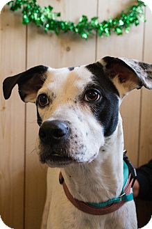 English Pointer/Boxer Mix Dog for adoption in Southbury, Connecticut - Ella
