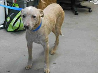 Greyhound/Australian Cattle Dog Mix Dog for adoption in Fairfield, California - WILEY