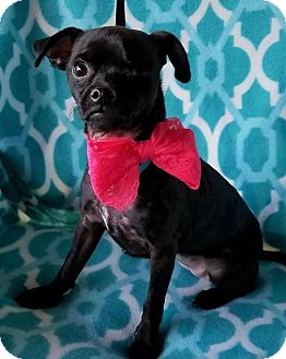 Chihuahua Mix Puppy for adoption in Allentown, Pennsylvania - Lady Elizabeth