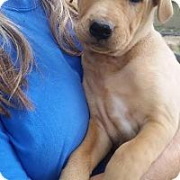 Adopt A Pet :: Chubbs - pending - Manchester, NH