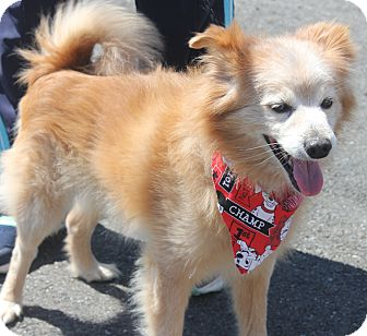 Pomeranian/Poodle (Miniature) Mix Dog for adoption in Clayton, New Jersey - CHOLO