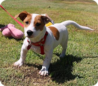 Jack Russell Terrier Mix Puppy for adoption in Winters, California - Doc