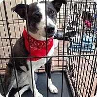 Adopt A Pet :: Gypsy - Manassas, VA