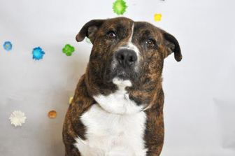 American Pit Bull Terrier Mix Dog for adoption in Wantagh, New York - Papa