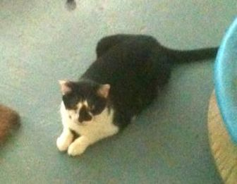 Domestic Shorthair/Domestic Shorthair Mix Cat for adoption in Jacksonville, Florida - Smudge 0139