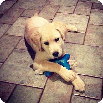 Labrador Retriever Puppy for adoption in Denton, Texas - Elmer