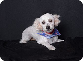 Poodle (Miniature) Mix Dog for adoption in Van Nuys, California - Oodle