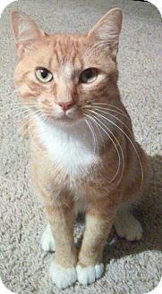 Domestic Shorthair Cat for adoption in Spring, Texas - Sir Jaspurr
