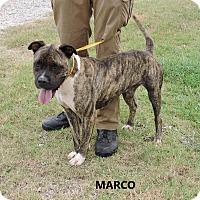 Adopt A Pet :: Marco - Washington, GA