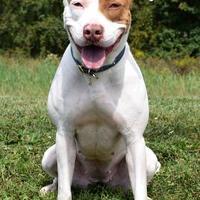 Adopt A Pet :: Bella - Westampton, NJ