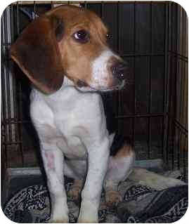 Beagle Mix Dog for adoption in Hamilton, Ontario - Buddy