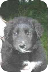 Border Collie/Australian Shepherd Mix Puppy for adoption in Carrollton, Texas - Eddie
