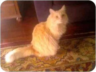 Domestic Longhair Cat for adoption in Delmont, Pennsylvania - Cozmo-URGENT!