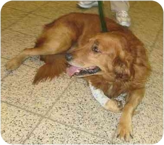 Golden Retriever Dog for adoption in Cleveland, Ohio - Moses